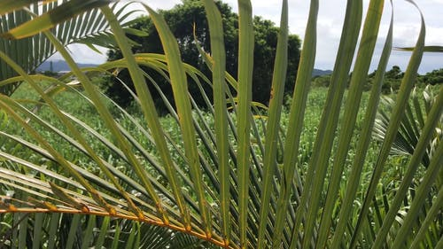 Close Up Footage Of A Coconut Tree's Long Leaves