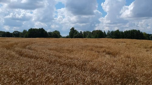 Aerial Drone  Footage Of A Wheat Field