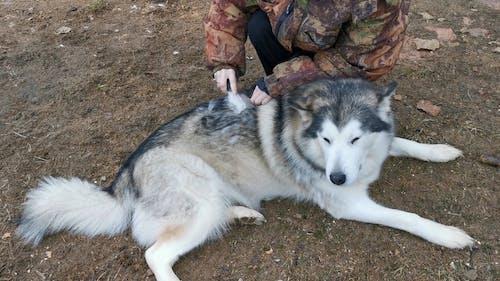 Person Combing A Siberian Husky