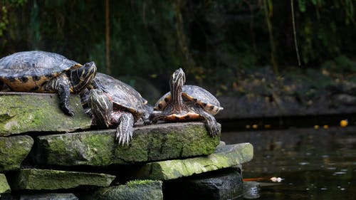 A Group Of Freshwater Turtles Resting On A Pile Of Concretes