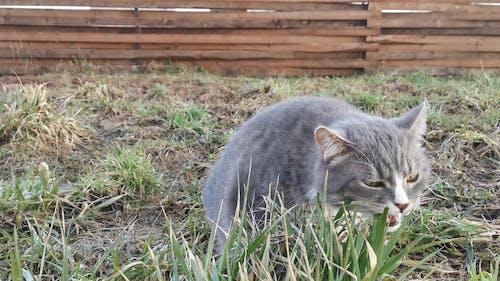 Gray Cat Eating Grass