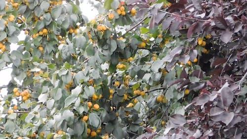 Rainfall Soaking Wet A Fruit Tree