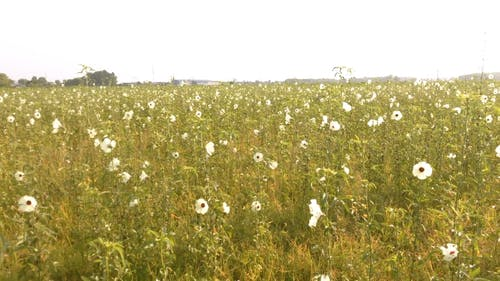 A Field Of Plants Bearing White Flowers