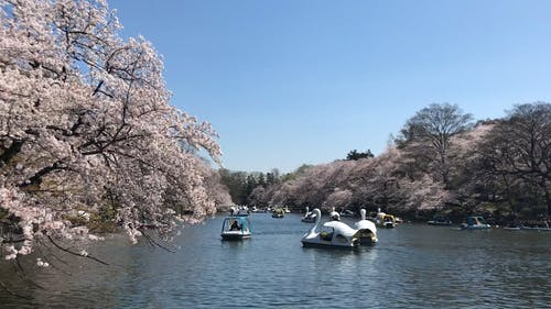 People Boating In A Lake Paond Duirnig Cherry Blossoms Season