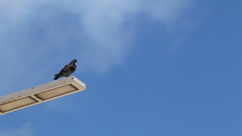A Pigeon Perched On Top Of A Light Post