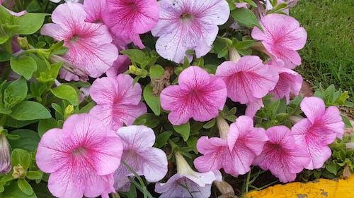 Pink Flowers In Full Bloom