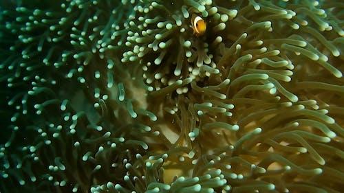 Clown Fish Hiding On Sea Anemone