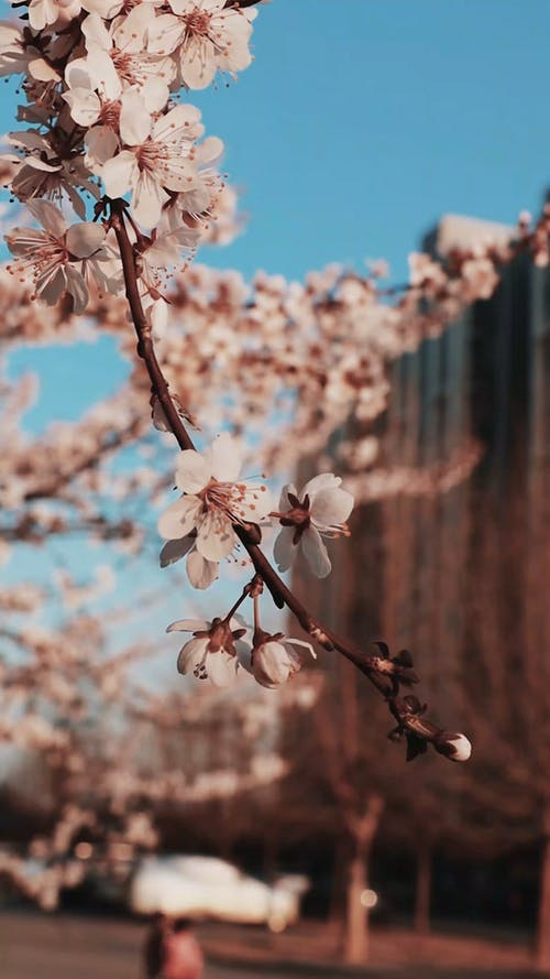 Cherry Flowers Blooming During Spring Season