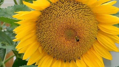 A Bee Feeding On A Sunflower's Nectar