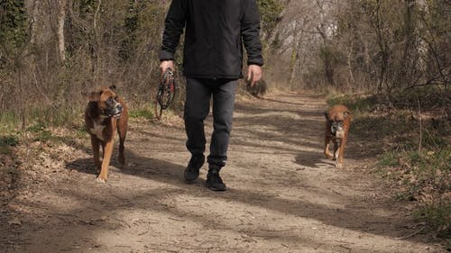A Man Walking His Dogs In The Forest