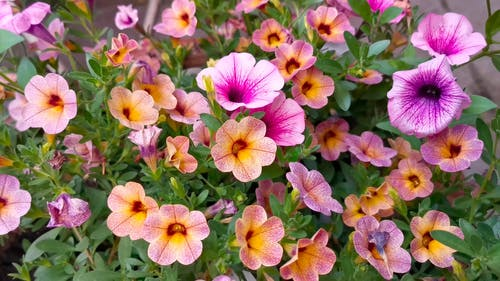 Bell Flowers In Bloom