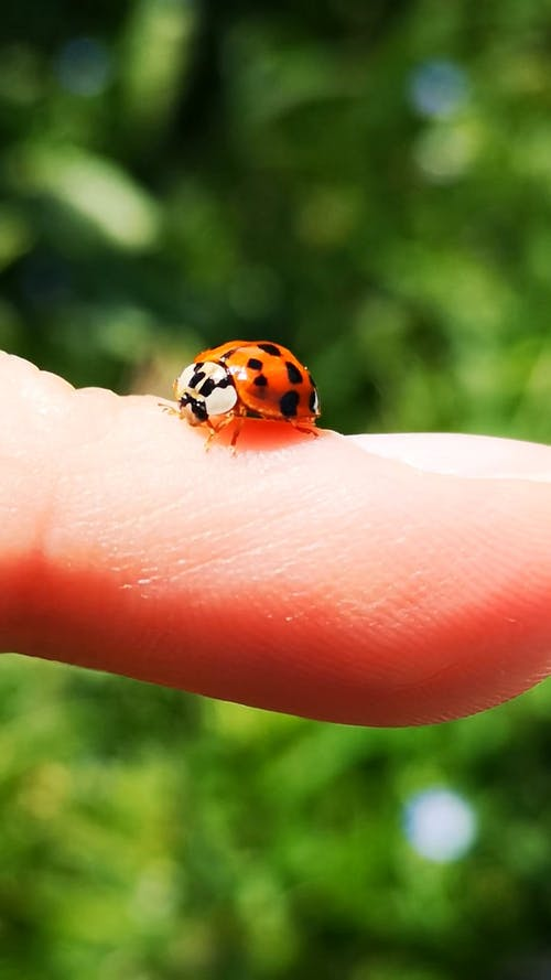 A Tiny Ladybug on a Person's Finger