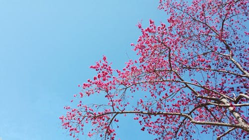 A Pan Shot of a Cherry Blossom Tree