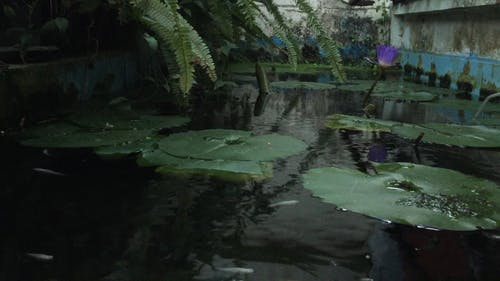 Fish Pond with Water Lilies