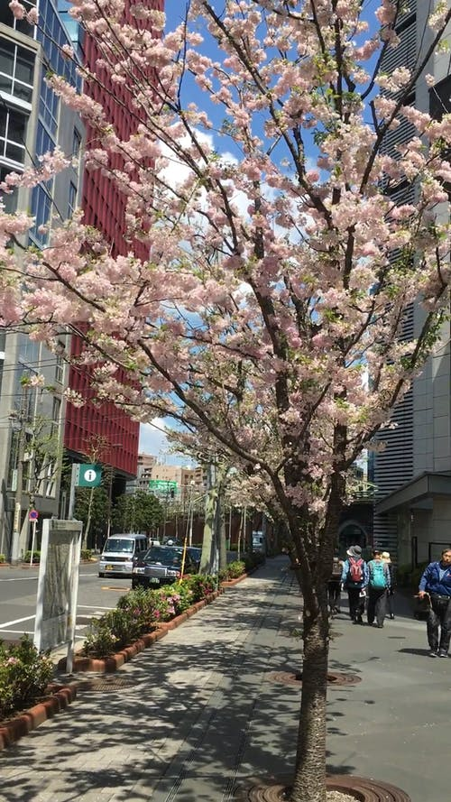 A Cherry Blossom by the Road Side