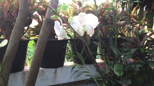 Orchid Plant With White Flowers