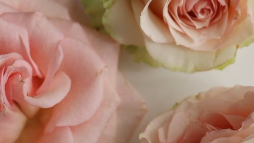 Close-up View Of Three Pink Roses On White Surface