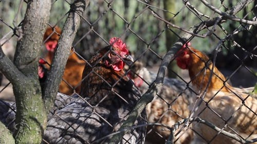 Flock Of Chickens Behind A Wire Fence
