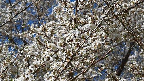 Cherry Blossom Tree Close-up Shot