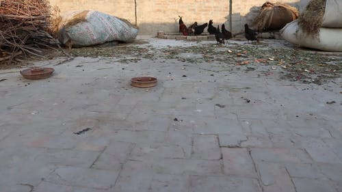 Backyard Farming Of Native Chickens