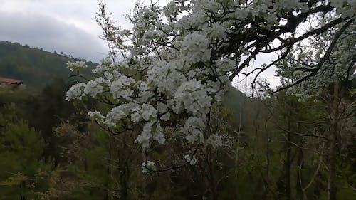 Swaying White Sakura Flowers