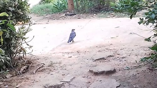 A Crow Crossing the Street