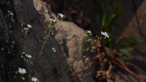 White Wildflowers Growing Near Rocks