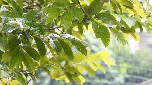Tree Leaves Soaking Wet In The Rain