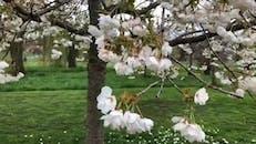 Season For Cherry Blossom Trees