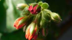 Macro Footage Of Flower Buds
