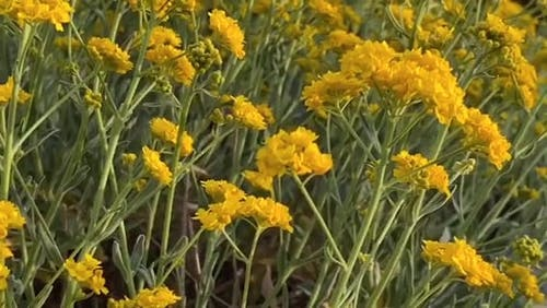 A Close-Up Video of Yellow Flowers