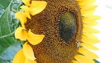 A Bee Feeding On A Sunflower Nectar