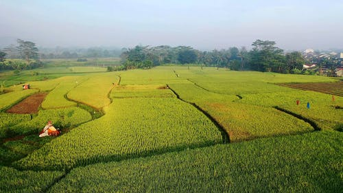 A Wide Plantation Of Rice Field By The Hill