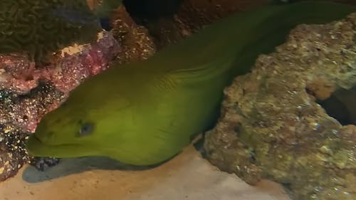 Close-up Footage Of A Green Moray Eel Underwater