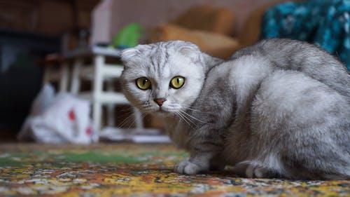 A Gray Pet Cat