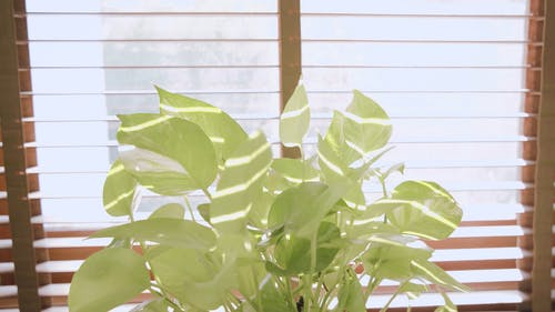 Potted Dumb Cane Plant Display Inside The House