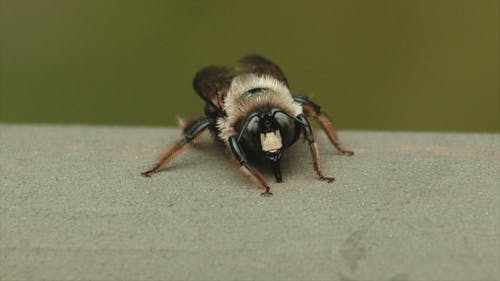 Extreme Close-up Footage Of A Carpenter Bee
