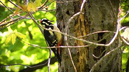 Woodpecker Pecking on a Tree