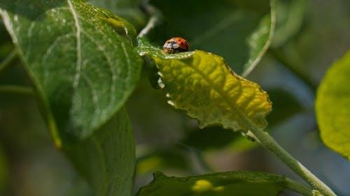 A Ladybird Beetle Bug Crawling Over A Plant Leaf