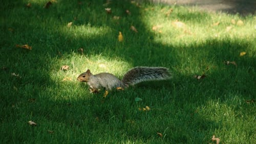 A Squirrel Searching Food In The Grass