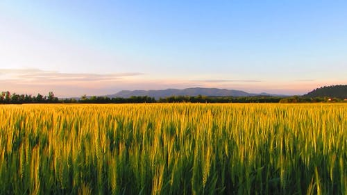 Wheat Farming In An Agricultural Land