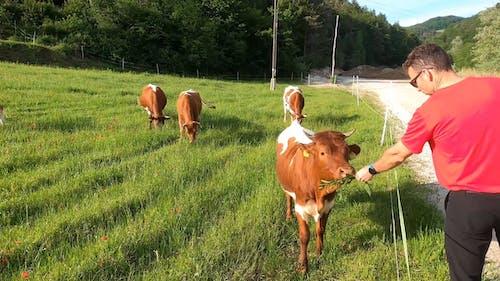 Man Feeding a Cow