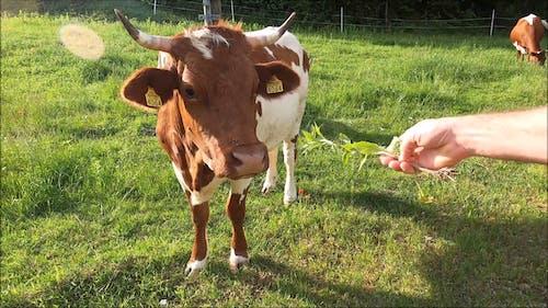 Person Feeding a Cow