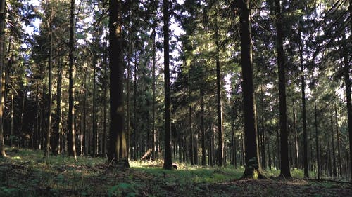 Video Footage Of The Forest Tall Trees