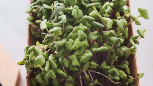 Fresh Green Sprouts