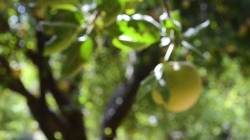 Unripe Apple Fruit In Its Tree