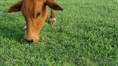 Brown Cow Eating Grass
