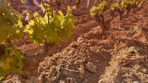 Close Up Footage of Vineyard