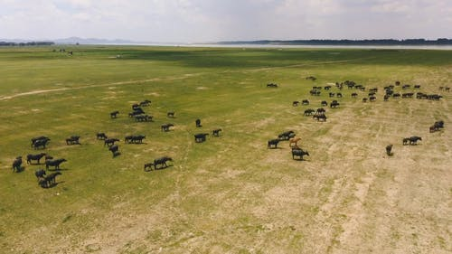 Aerial Footage of Cows on a open field