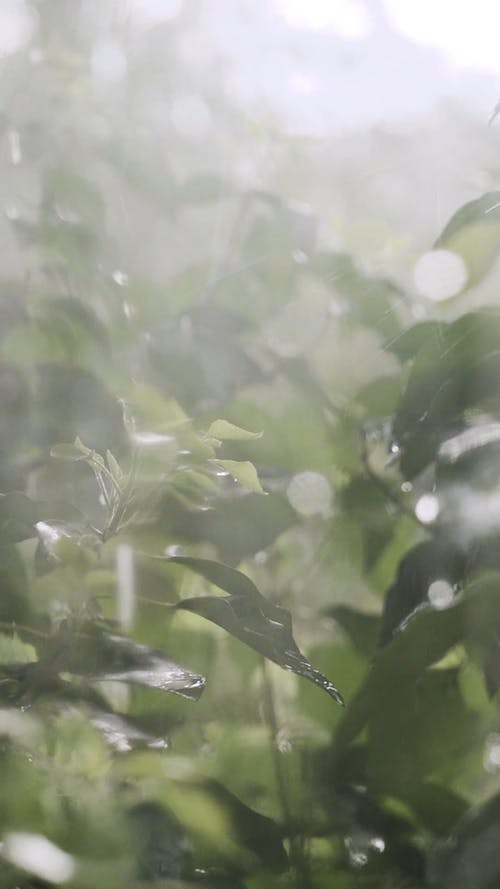 Leaves Drench In Rains